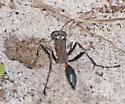 Family Sphecidae - Ammophila procera - female