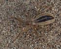 Reduviidae nymph? - Fitchia