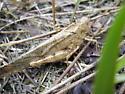 grasshopper 2 - Dissosteira carolina