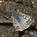 Checkered Skipper from Northern Sierra Nevada - Pyrgus communis - male