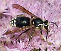 black and white wasp - Dolichovespula maculata - male