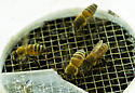 capture the queen - Apis mellifera