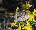 Apateticus lineolatus
