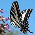 Papilio eurymedon - female