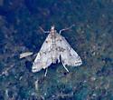 white moth - Elophila gyralis
