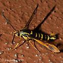 Clearwing Moth - Synanthedon arkansasensis