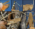 Oak-leaf Grasshopper - Tomonotus ferruginosus - male