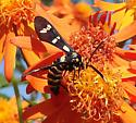 Black-banded Wasp Moth_8283 - Syntomeida melanthus