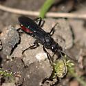 Spider Wasp - Priocnemis oregona