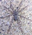fishing spider - Pardosa
