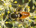 Diptera - Lejops curvipes - male