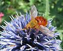 Fly with orange abdomen - Adejeania vexatrix