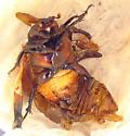 Osmoderma emericola - Osmoderma eremicola