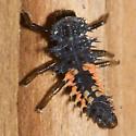 Lady beetle larva -  Harmonia axyridis