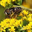 what black brown insect - Eristalis dimidiata