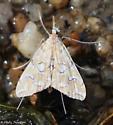 small moth - Elophila icciusalis