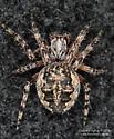 Araneidae - Larinioides
