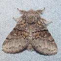 7931 Common Gluphisia - Gluphisia septentrionis