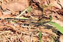 Black-shouldered Spinyleg? - Dromogomphus spinosus