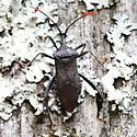 Leaf-footed Bug - Dorsal - Acanthocephala terminalis
