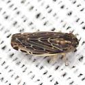 Leafhopper - Deltocephalus