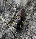 Ectemnius lapidarius nesting in tree stump - Ectemnius lapidarius