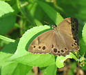 Butterfly sp? - Lethe anthedon