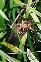 Maybe a cicada Tibicen dorsatus - Megatibicen dorsatus