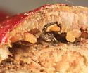 gall on silky dogwood - Neolasioptera cornicola