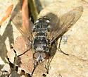fly031818 - Pollenia