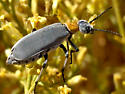 Blister beetle with orange - Epicauta wheeleri