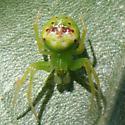 Araneus cingulatus - Araneus bonsallae - male