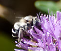 Bee or fly or beefly? - Anthophora urbana