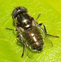 fly with spotted eyes - Eristalinus aeneus - female