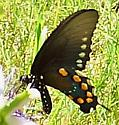 Pipevine Swallowtail (Battus philenor)  - Battus philenor