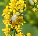 Bug on Goldenrod