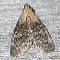 yellow-shouldered moth - top - Pococera expandens
