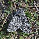 moth - Platypolia contadina