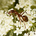 Tending Ant ? - Formica dolosa