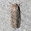 Spodoptera exigua, #9665 - Spodoptera exigua