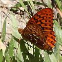 Nymphalidae: Speyeria zerene - Speyeria zerene