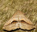 lost owlet (Ledaea perditalis) - Ledaea perditalis