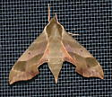 Virginia creeper moth? - Darapsa myron