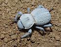 Ghost Beetle - Asbolus verrucosus