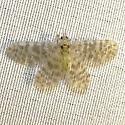 What is this? - Nallachius americanus