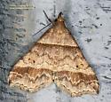 Moth - Phalaenophana pyramusalis