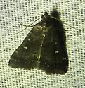 Idia lubricalis – Glossy Black Idia Moth - Tetanolita mynesalis