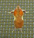 moth - Galasa nigrinodis