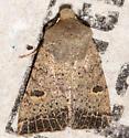 Unknown moth - Perigonica pectinata
