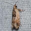 Hodges #3274 – Crocidosema plebejana – Cotton Tipworm Moth - Crocidosema plebejana
